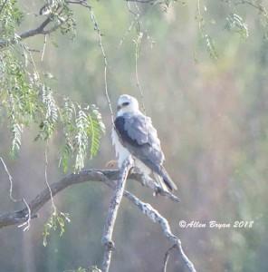 White-tailed Kite from Estero Llano Grande State Park, Texas
