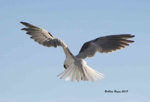 White-tailed Kite in Zapata County, Texas