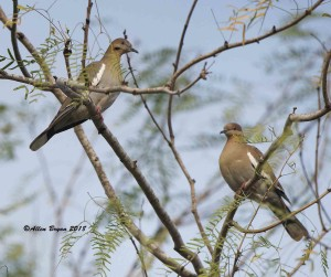 White-winged Doves from McAllen, Texas