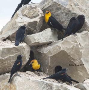 Yellow-headed Blackbird with Bronzed Cowbirds & Red-winged Blackbirds at Progresso Silos, Texas