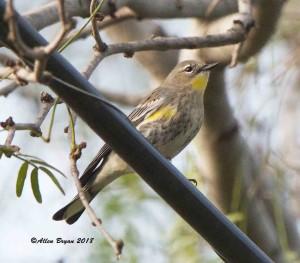 Yellow-rumped Warbler (Audubon's) at Zapata Park, Texas