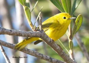 Yellow Warbler (male) at Progresso Lakes, Texas