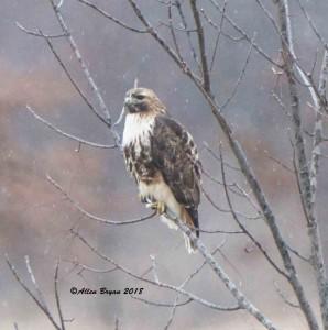 Red-tailed Hawk (albieticola) in Frederick County, Va.