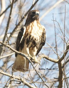 Red-tailed Hawk (albieticola) in Fauquier County, Va.