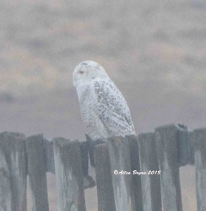 Snowy Owl in Jefferson County, WV