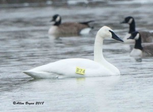 Trumpeter Swan (R24) behind the Bowman Library in Frederick County, Virginia